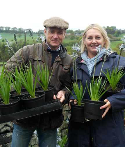 Potted Camassia
