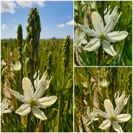 Camassia leichtlinii 'Silk River' - NEW! For Autumn 2020