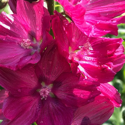 Sidalcea 'Wine Red'