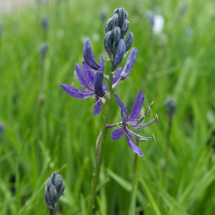Camassia quamash 'Orion' - Potted