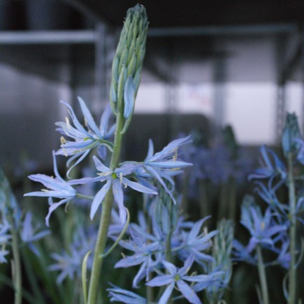 Camassia leichtlinii 'Blue Heaven' - Potted