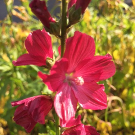 Sidalcea 'William Smith'  AGM